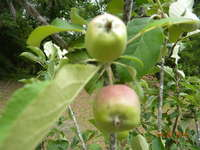 Apples_late_april_2010_006_2_