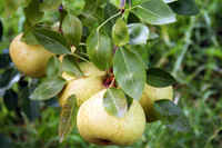 Orient_pear