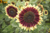 Florenza_sunflower