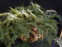 Rabbits_foot_fern_basket_-_large