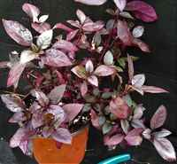 Alternanthera_ruby_leaf_-_med