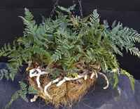Rabbits_foot_fern_basket_-_med