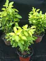 Alternanthera_yellow_-_sm